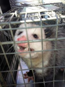 Opossum-in-trap