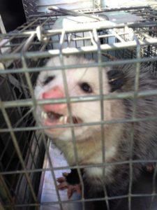 Opossum-in-trap