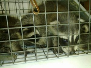 Raccoon-Young-in-Trap
