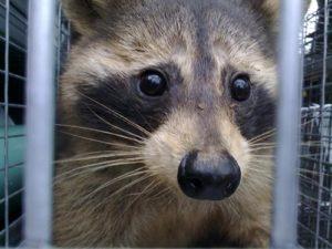 Raccoon-in-Trap