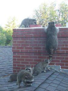 Raccoons-on-chimney