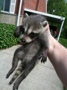 baby-raccoon-caught-by-hand