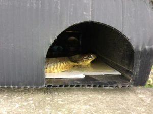 black-rat-snake-in-trap