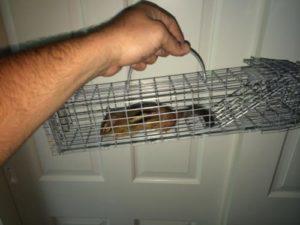 chipmunk-in-trap