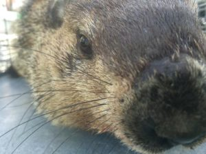 ground-hog-close-up
