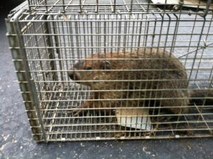 ground-hog-in-live-trap-2