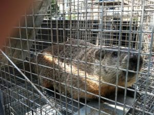 ground-hog-in-live-trap