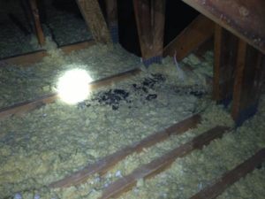 insulation-compression-and-droppings-from-raccoons