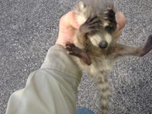raccoon-caught-by-hand