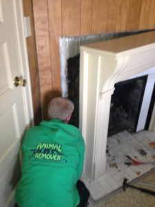 raccoon-in-wall-removal