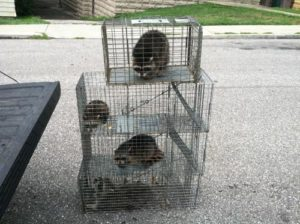 raccoons-in-cages