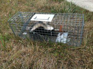 skunk-in-trap