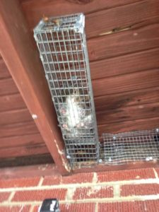 squirrel-in-trap
