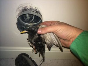 starling-removed-from-dryer
