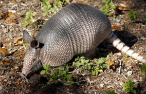 Animal removal needed for armadillo in the grass