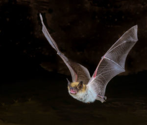 Bat removal needed for bat flying