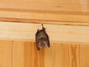 Wildlife control services needed for bat hanging off of a wood wall