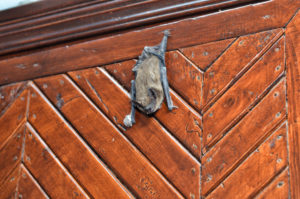 In-home bat removal