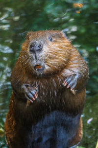 Picture of beaver caught in the act by Animal Remover.
