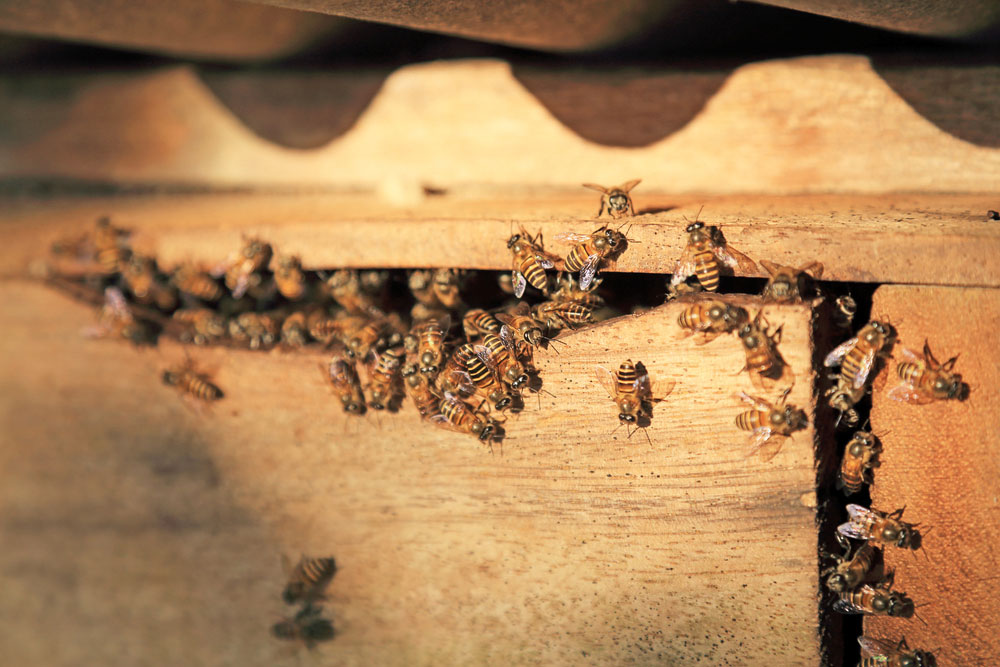 Honey bee removal and dangers