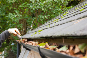 Wildlife control services removing old leaves from the gutter