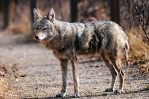 Coyote in need of wildlife management tactics