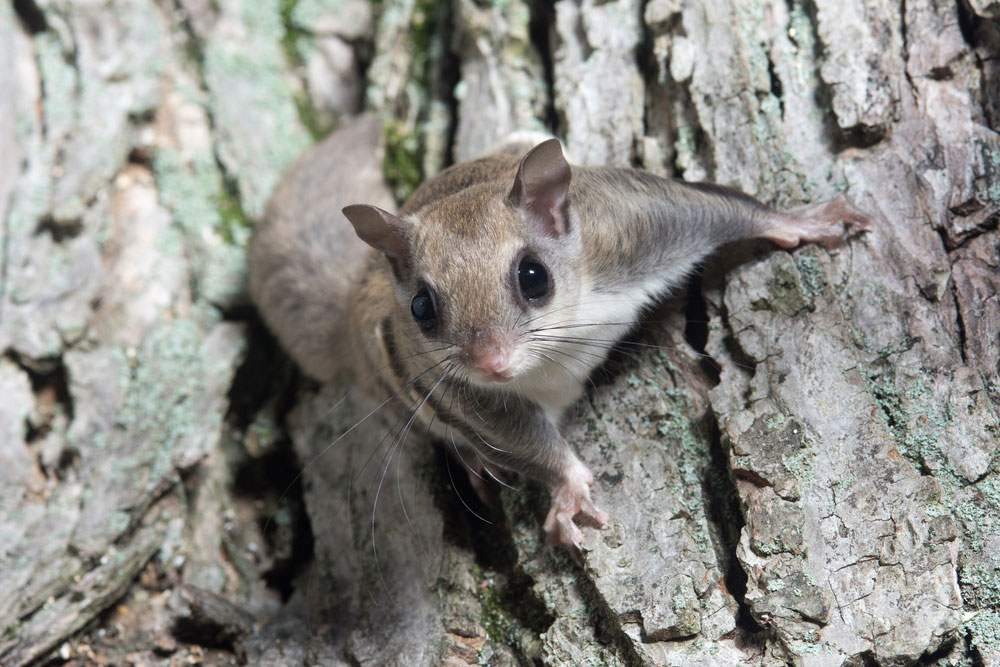 Flying squirrel removal needed for squirrel on a tree
