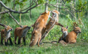 Wildlife control and foxes