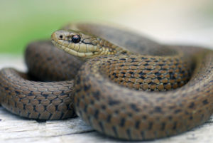 Practicing wildlife control can keep snakes out of your house