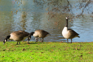 Identifying Geese and Goose Management