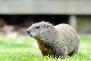 Wildlife control for groundhog in yard