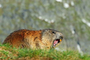 Animal Remover and groundhogs