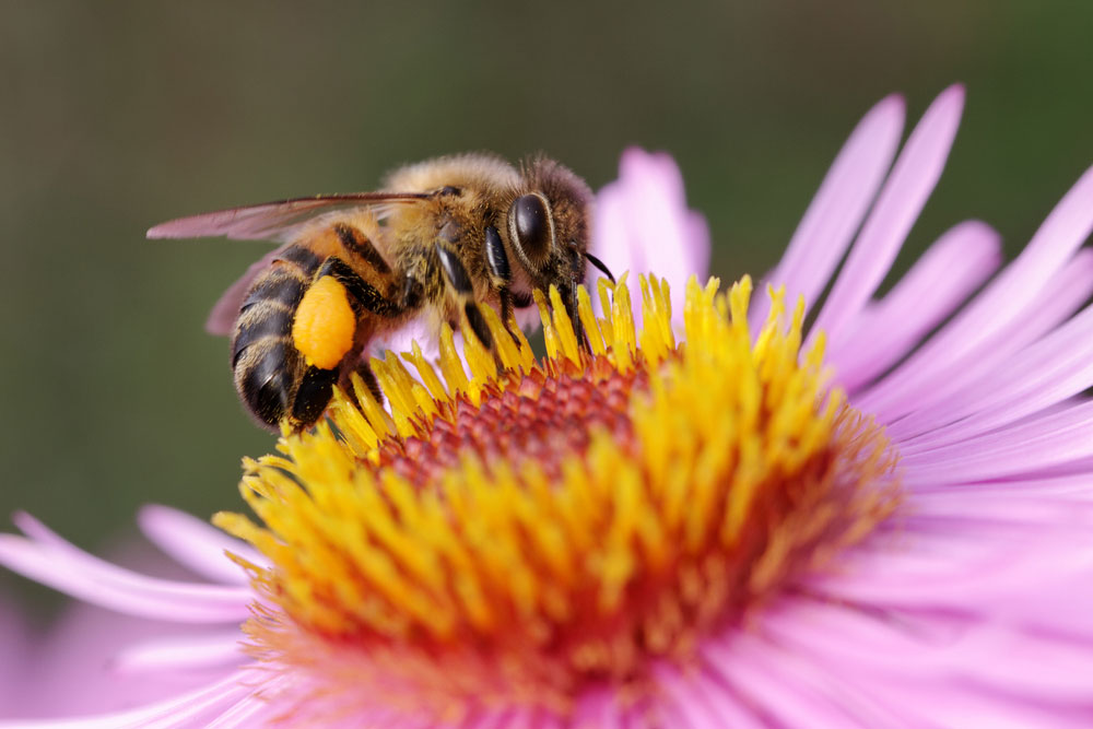 Africanized Honey Bee Removal