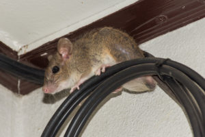 Animal removal needed for rat in a house on cables