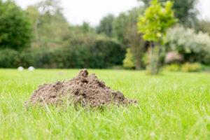 Mole Removal Mole Hill