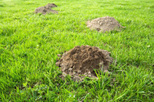 Wildlife control services needed for mole mounds in yard