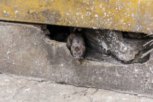Animal Remover needed for mouse hiding inside wall