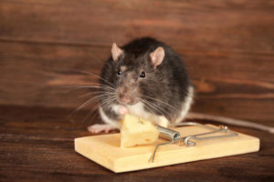 Wildlife management and lethal mousetraps.