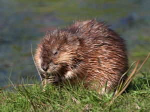Wildlife control needed after muskrat invaded