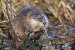 Muskrats can require wildlife management