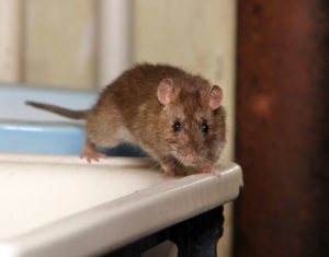 Animal Remover gives tips to prevent mice, like this one, from entering your house