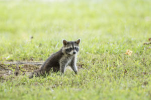 Raccoon removal needed for young raccoon sitting in the grass