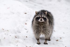Raccoon in Winter Wildlife Control