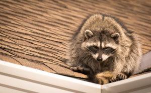 raccoon removal raccoon on roof