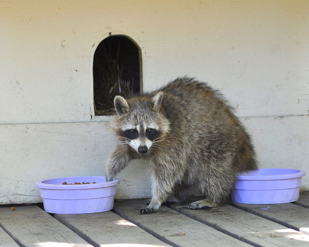 Raccoon Removal Raccoons Fight Pets Animal Remover