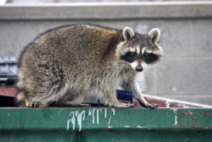 Wildlife Management Can Prevent Raccoons