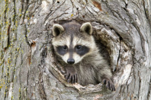 Raccoon removal needed for a baby raccoon in a tree