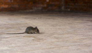 Rat removal at Animal Remover