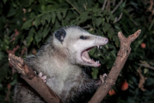 Animal Removal Is Needed for This Opossum