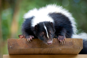 Skunk removal needed for skunk on a wood board